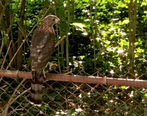 Coopers Hawk on fence