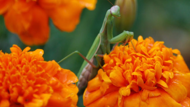 praying mantis on flowers